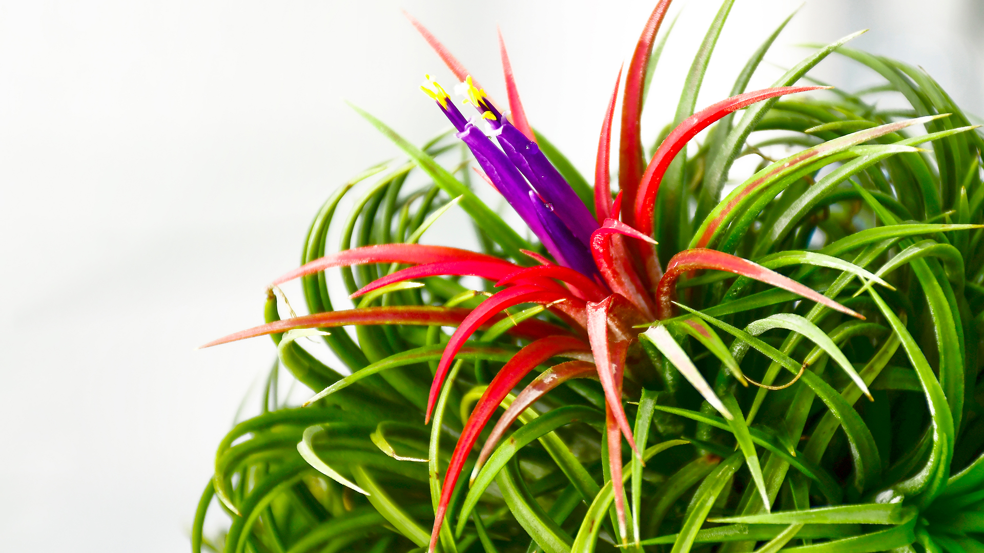 Airplant Care Guide