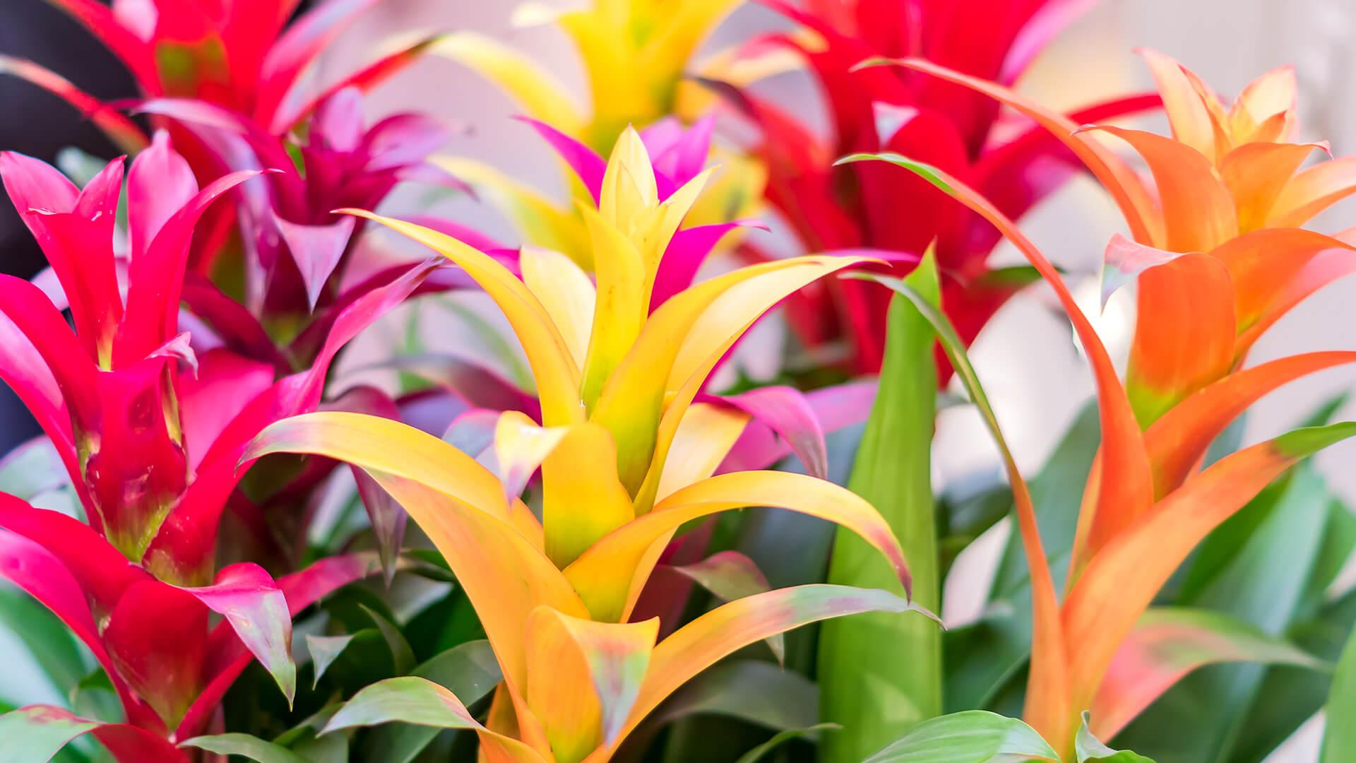 Bromeliads Care Guide