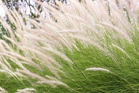 Ornamental Grass in Variety