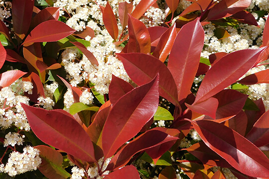 Photinia Carre Rouge Flower