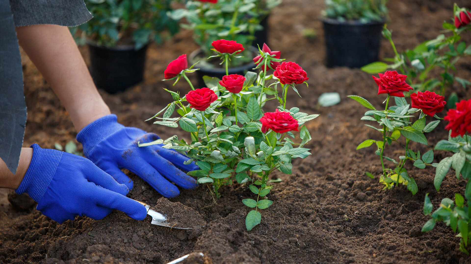 How to plant a rose